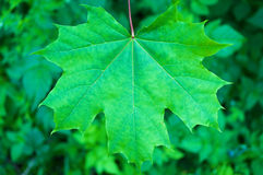 Maple leaf close-up Stock Photography