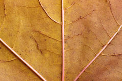 Maple leaf close-up texture. Texture of brown maple leaf in autumn. Horizontal close up Stock Images