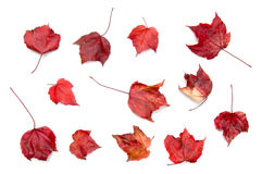 Maple leaf collection Royalty Free Stock Photography