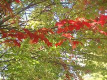 Maple leaf colours in mid fall. Red, green, yellow, orange and mixed colours of maple leaves Stock Image