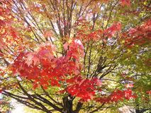 Maple leaf colours in mid fall. Red, green, yellow, orange and mixed colours of maple leaves Stock Images