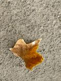 Maple leaf on a concrete background on the road. stock image