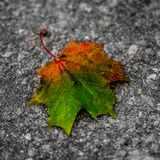 Maple leaf on concrete surface. Closeup with selective focus on a Maple leaf in Autumnal colors, green, red orange and yellow lying on a gray concrete surface Royalty Free Stock Image