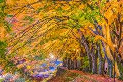 Maple Leaf Corridor. Maple Corridor near Kawaguchi Lake and Mt. Fuji, Japan during autumn royalty free stock image