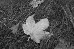 Maple leaf covered with dropsrain. Black and white close-up of maple leaf fallen on the ground and covered with some raindrops in a rainy day of autumn stock photography