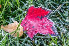 Maple Leaf Covered in Frost Stock Photos