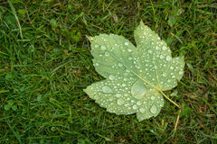 Maple leaf covered with raindrops. Maple leaf covered with freshly fallen raindrops Royalty Free Stock Images