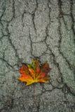 Maple leaf on cracked asphalt Stock Images