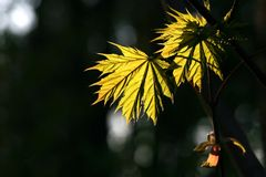 maple leaf in dark forest Royalty Free Stock Photo