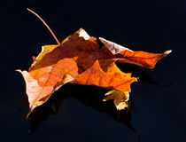 Maple leaf on dark water Royalty Free Stock Image