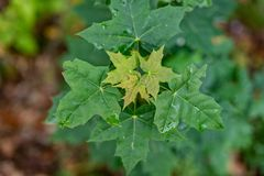 Maple leaf destroyed by pests. Leaves of trees in the forest are. A. Season of the autumn stock image