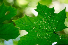 Maple leaf. Detail shot of maple leaf Royalty Free Stock Photos