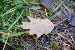 Maple Leaf with dew in the grass Royalty Free Stock Photos