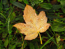 Maple leaf with drops of dew Royalty Free Stock Images