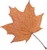 Maple - leaf Stock Photography