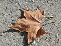 Maple leaf on dry ground Stock Images