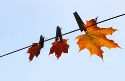 Maple leaf drying. Rope Stock Photo