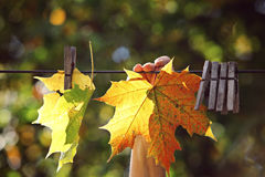 Maple leaf drying. Rope Stock Image