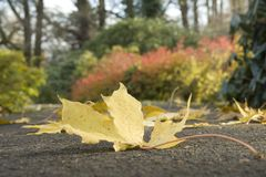 Maple leaf on the earth. Against autumn. A close up Royalty Free Stock Image