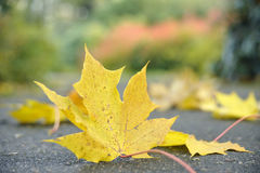 Maple leaf on the earth Royalty Free Stock Image