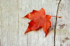 Maple leaf fall Stock Image