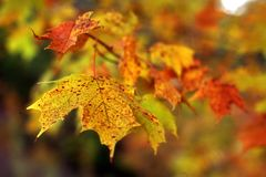 Maple Leaf in the Fall Stock Photo