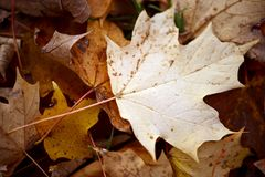Maple Leaf in Fall Stock Photography