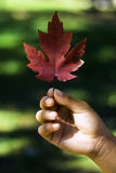 Maple leaf in Fall color. Stock Photo