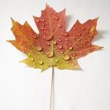 Maple leaf in Fall color. Royalty Free Stock Photo