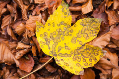 Maple leaf in fall Royalty Free Stock Photo