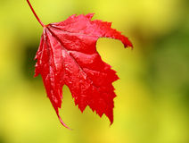 Maple leaf in fall red. Vibrant red maple leaf against green background Stock Images