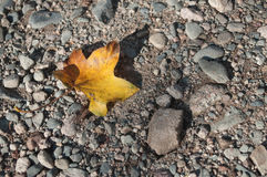 Maple leaf falled on the floor Royalty Free Stock Photos