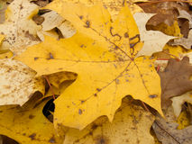 Maple Leaf. Fallen beautiful yellow autumn maple leaf lying among other foliage Royalty Free Stock Images