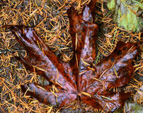 Maple leaf. Fallen leaf found on the forest floor Royalty Free Stock Photo