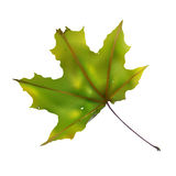 Maple leaf Royalty Free Stock Photography