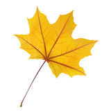 Maple leaf Stock Images