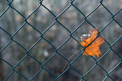 Maple leaf in fence Royalty Free Stock Image