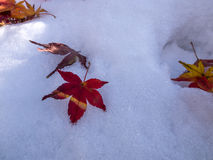Maple leaf on the first snow Stock Images