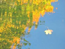 Maple leaf floating on water in autumn Stock Images
