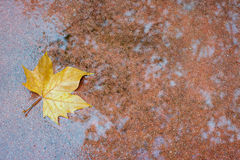 Maple leaf on floor wet. Wit a shadow of tree Royalty Free Stock Photography