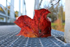 Maple leaf in focus stock photography