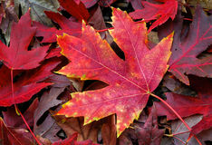 Maple Leaf on Forest Floor Stock Image