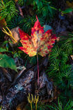 Maple leaf on the forest floor Stock Photography