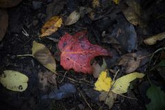 Maple Leaf on the Forest Floor stock image