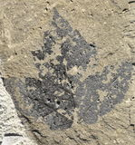 Maple Leaf Fossil Royalty Free Stock Image