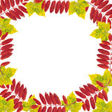 Maple leaf frame. Royalty Free Stock Photo