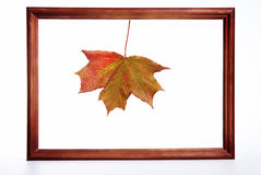 Maple leaf in a framework. Autumn maple leaf in a wooden framework on a white background royalty free stock photos