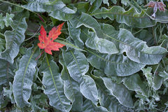 Maple leaf on frosted ground cover. A single red maple leaf on frosted ground cover Stock Images