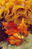 Maple leaf and Fungus Stock Image