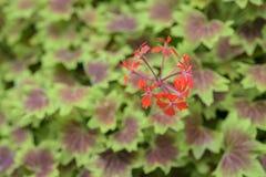 Maple Leaf Geranium Stock Photos